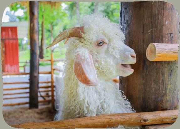 Angora-Goats-House-1