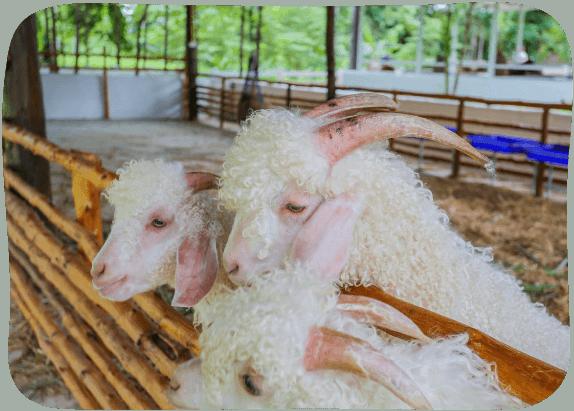 Angora-Goats-House-2