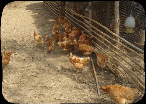 Chicken-&-Duck-Farm-2